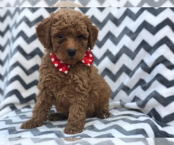 View Ad: Double Doodle Puppy for Sale near In Singapore