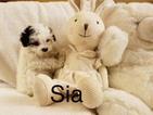Maltipoo Puppy For Sale in LOS ANGELES, CA, USA