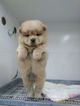 Chow Chow Puppy For Sale in SEATTLE, WA, USA