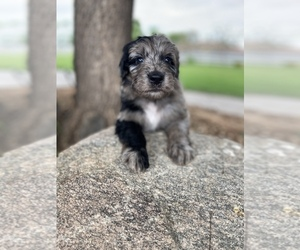 Aussiedoodle Puppy for sale in GILBERT, AZ, USA