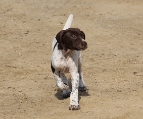 German Shorthaired Pointer Puppy For Sale in SAINT CHARLES, MN