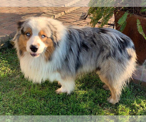Father of the Australian Shepherd puppies born on 03/03/2020