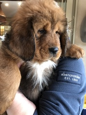 Tibetan Mastiff Puppy For Sale in SHEFFIELD LAKE, OH, USA