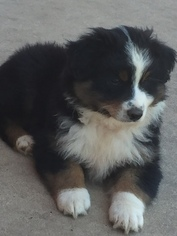 Australian Shepherd Puppy For Sale in OZARK, AR, USA