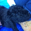 Poodle (Standard) Puppy For Sale in KLAMATH FALLS, OR,