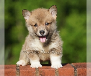 Pembroke Welsh Corgi Puppy for sale in CRESTVIEW, FL, USA