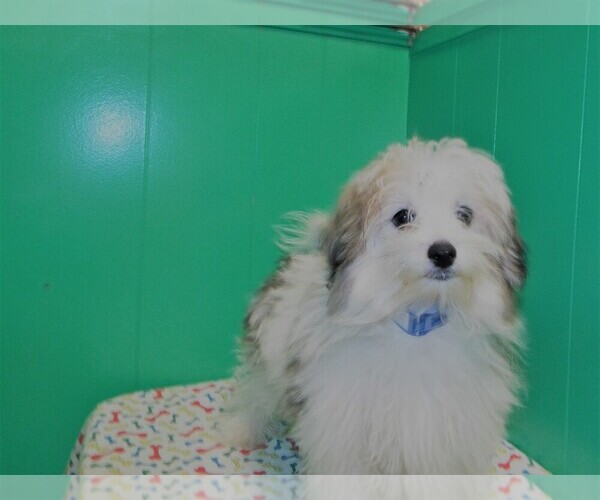Medium Photo #1 Maltipom Puppy For Sale in PATERSON, NJ, USA