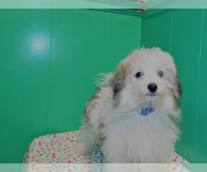 Maltipom Dog for Adoption in PATERSON, New Jersey USA