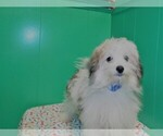 Small Photo #1 Maltipom Puppy For Sale in PATERSON, NJ, USA