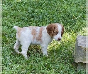 Brittany Puppy for sale in LA GRANGE, KY, USA