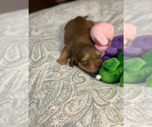 Dachshund Puppy for Sale in WILSONVILLE, Alabama USA
