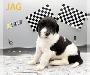 Saint Berdoodle-Sheepadoodle Mix Puppy for sale in MILLVILLE, MN, USA
