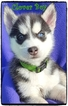 Siberian Husky Puppy For Sale in QUINLAN, TX, USA