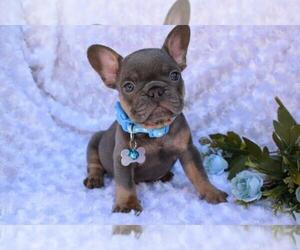 French Bulldog Puppy for sale in LONGWOOD, FL, USA