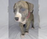 Puppy 7 American Pit Bull Terrier-American Staffordshire Terrier Mix
