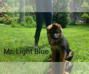 German Shepherd Dog Puppy for Sale in CHEPACHET, Rhode Island USA