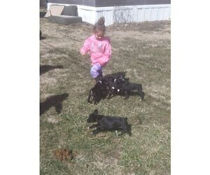Boxer Puppy for sale in TIPTON, IN, USA