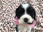 Cocker Spaniel Puppy For Sale in EPHRATA, PA, USA