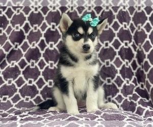 Siberian Husky Puppy for sale in LAKELAND, FL, USA