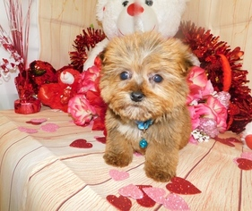 Toy Shorkie  Pups Nonshedding  Financing