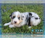 Aella Mini Blue Merle Female Aussie