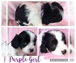 Cavapoo Puppy For Sale in FRISCO, TX, USA