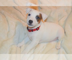 Jack Russell Terrier Puppy for sale in CHUGIAK, AK, USA