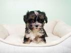 Shih Tzu-Yorkiepoo Mix Puppy For Sale in LAS VEGAS, NV, USA