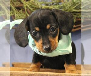 Dachshund Dog for Adoption in ORO VALLEY, Arizona USA