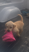 Labradoodle Puppy For Sale in COLUMBIA, KY,