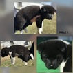 Akita Puppy For Sale in MUSCATINE, IA, USA