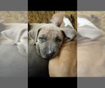 Puppy 2 American Staffordshire Terrier