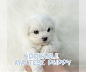 Maltese Puppy for sale in Seoul, Seoul, Korea, South