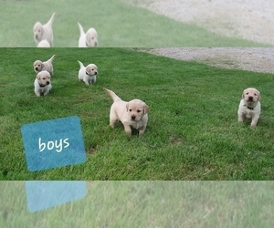 Golden Retriever Puppy for Sale in CANTRIL, Iowa USA