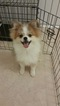 Pomeranian Puppy For Sale in HENDERSON, NC,