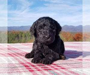 Goldendoodle Puppy for Sale in MORGANTON, North Carolina USA