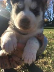 Siberian Husky Puppy For Sale in UNCASVILLE, CT