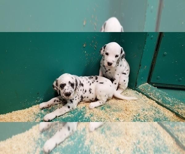 Medium Photo #8 Dalmatian Puppy For Sale in DUVALL, WA, USA
