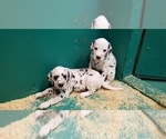 Small Photo #8 Dalmatian Puppy For Sale in DUVALL, WA, USA