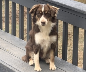 Miniature American Shepherd Puppy for Sale in ANNISTON, Alabama USA