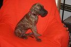Great Dane Puppy For Sale in SHAWNEE, OK, USA
