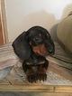Dachshund Puppy For Sale in JAY, OK
