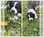 Puppy 3 Basset Hound