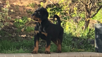 Rottweiler Puppy For Sale in OAKLEY, CA, USA