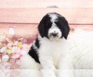 Sheepadoodle Dog for Adoption in MARIETTA, Georgia USA