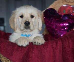 Golden Retriever Puppy for sale in FREDERICKSBG, OH, USA