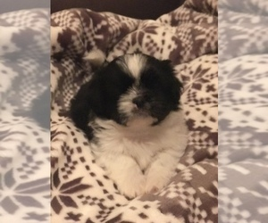 Shih Tzu Puppy for Sale in SHERMAN, Texas USA