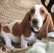 Pure bred AKC certified basset hound puppy