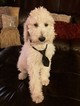 Poodle (Standard) Puppy For Sale in RIALTO, CA, USA