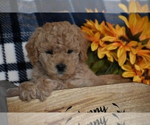 Goldendoodle-Poodle (Miniature) Mix Puppy for sale in UNION BRIDGE, MD, USA